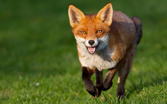 fox-intelligence