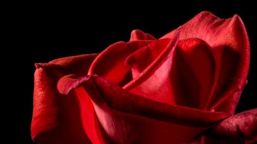red-rose-rose-rose-bloom-blossom-57423