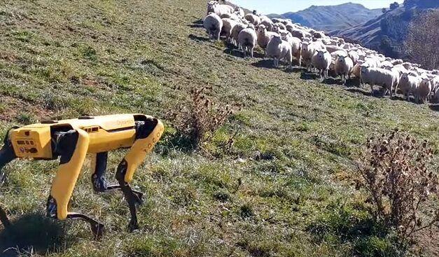 [Vidéo]: Regardez un robot spot-mini essayant de rassembler des moutons